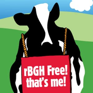 Cow wearing rBGH sign