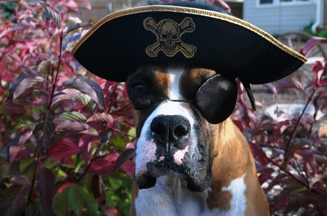 A cute dog dressed as a pirate with an eye patch